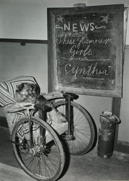 An image of Untitled (dog and wheelchair) by Max Dupain