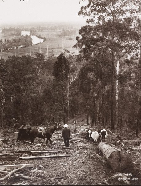 An image of Hauling timber by Unknown, Kerry & Co