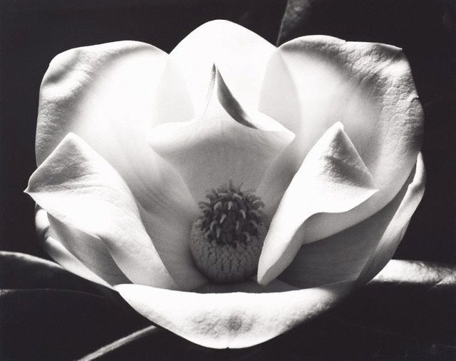 An image of The magnolia