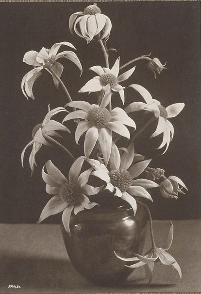 An image of Flannel Flowers by Frank Hurley