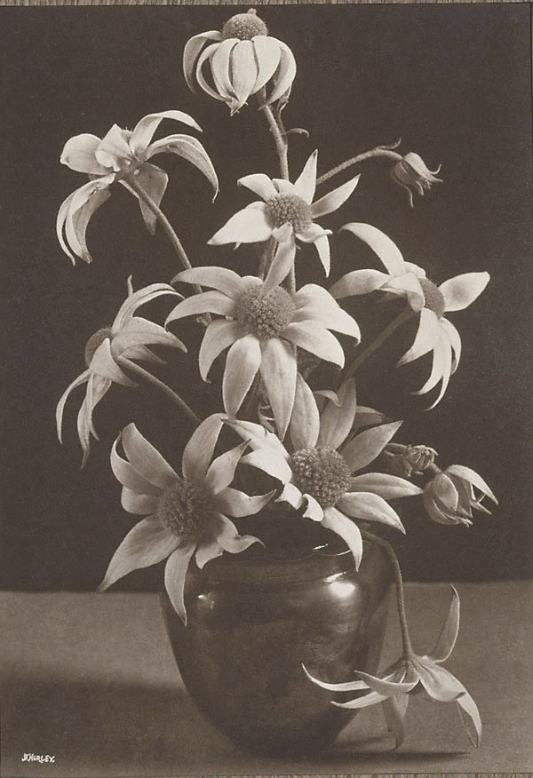 An image of Flannel Flowers