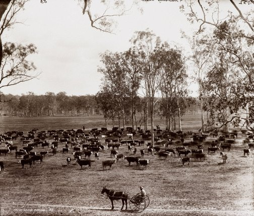 An image of Mustering cattle by Unknown, Kerry & Co