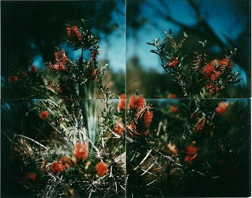 An image of Bottle-brush near Sleaford Bay, South Australia by Douglas Holleley