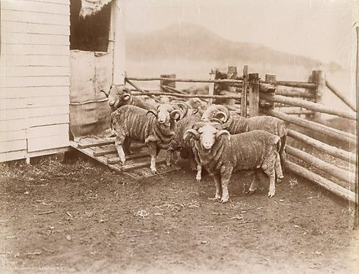An image of Prize rams, Burrawong Station New South Wales by Unknown, NSW Government Printer