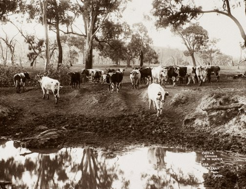 An image of Cattle coming into water by Unknown, Kerry & Co