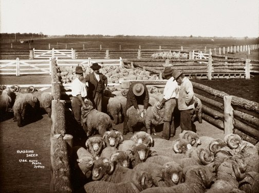 An image of Classing sheep by Unknown, Kerry & Co