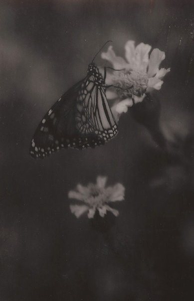 An image of Untitled (butterfly) by John Kauffmann