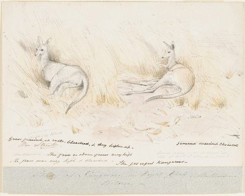 An image of Studies of Kangaroos in Royal Park, Melbourne by William Strutt
