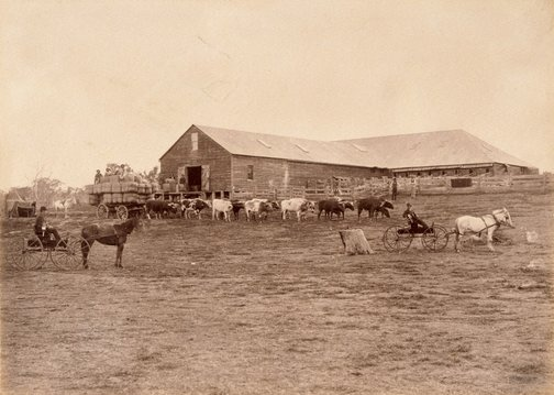 An image of Bullock team and cart laden with wool bales in front of shearing shed by Charles Bayliss