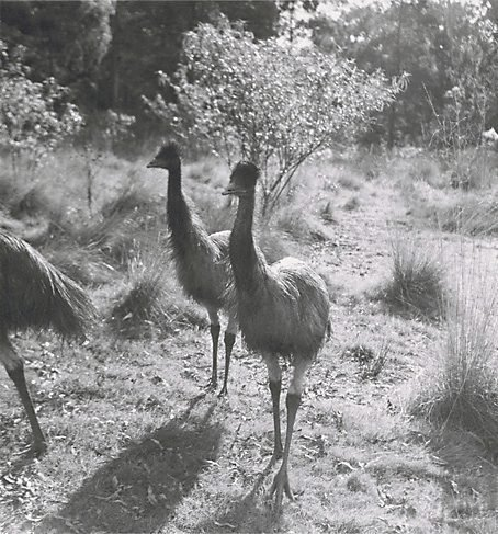 An image of Young emus, Healesville, Victoria by Axel Poignant