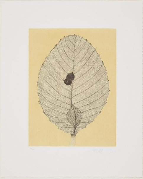 An image of Shrubby Dillenia leaf and wasps nest by Fiona Hall
