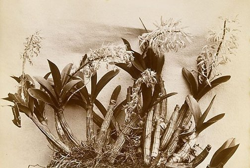 An image of A native orchid (Dendrobium speciosum) by William Livermore, Star Photo Co