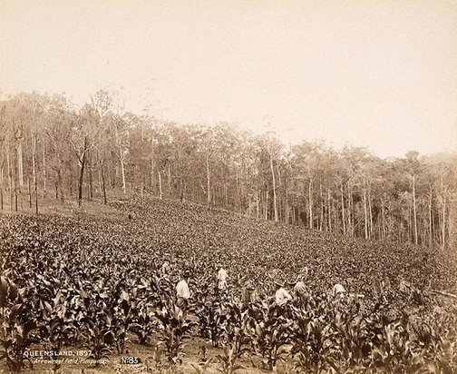 An image of Arrowroot field by Unknown
