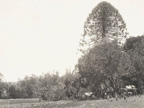 An image of Bunya-bunya pines (Araucaria bidwillii) by Unknown