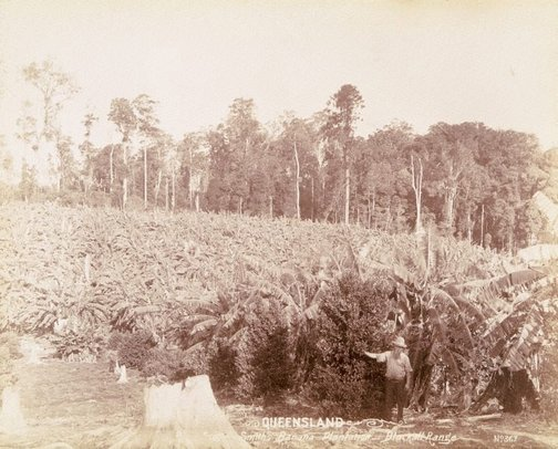 An image of A banana plantation by Unknown