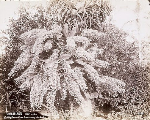 An image of A native orchid (Dendrobium speciosum) by Unknown