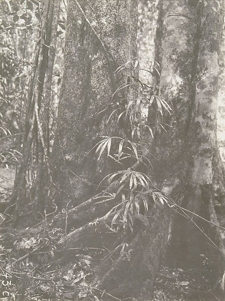 An image of Lawyer vine (Calamus sp.) by Unknown