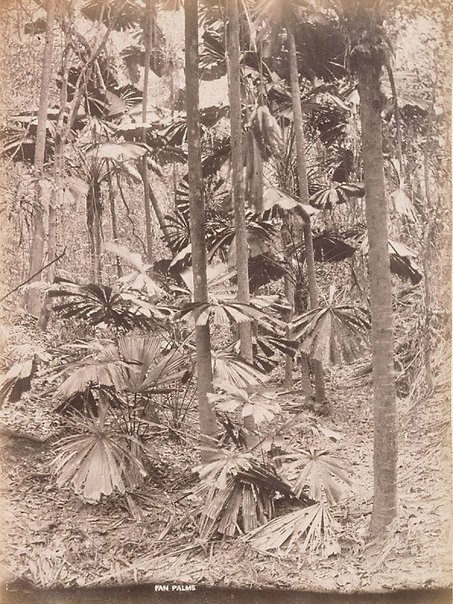An image of A fan palm (Licuala ramsayi) by Unknown