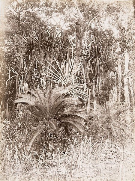 An image of Cycads and pandanus by Unknown