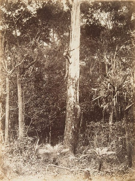 An image of Black climbing a tree by Unknown