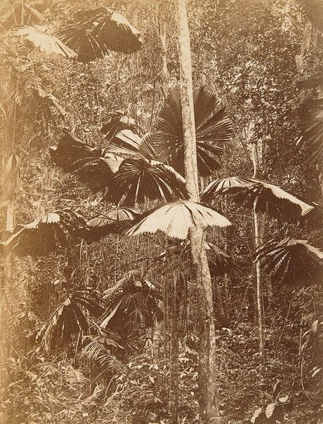 An image of Forest scene showing Licuala Mueleri by Unknown