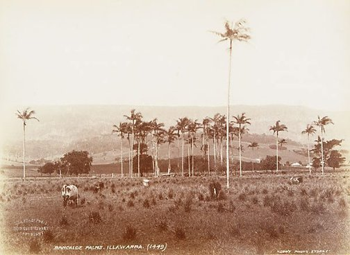 An image of Bangalow palms (Archontrophoenix cunninghamiana) by Unknown, Kerry & Co