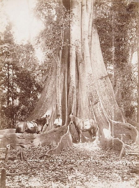 An image of Giant Fig-tree (Ficus macrophylla) by Unknown, Kerry & Co