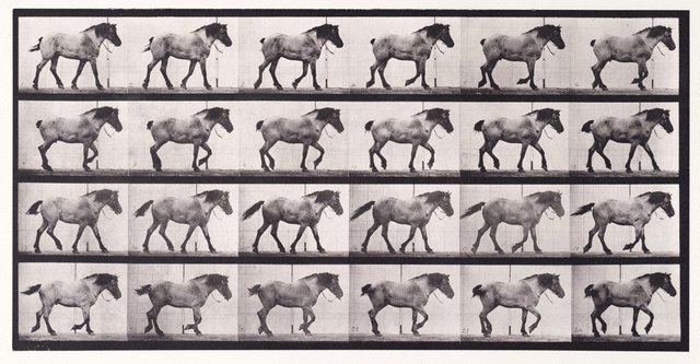 "An image of Animal Locomotion - An Electrophotographic Investigation of Consecutive Phases of Animal Movements. Plate 574. ""Hansel"" walking, free [Vol. 9 Horses]"
