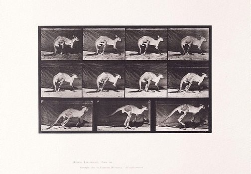 An image of Animal Locomotion - An Electrophotographic Investigation of Consecutive Phases of Animal Movements. Plate 751. Kangaroo walking on all fours, changing to jumping [Vol. 11 Wild Animals & Birds] by Eadweard Muybridge