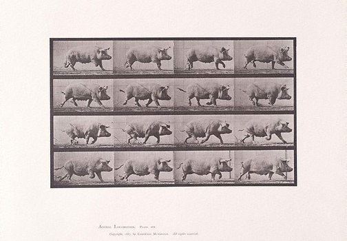 An image of Animal Locomotion - An Electrophotographic Investigation of Consecutive Phases of Animal Movements. Plate 675. Sow trotting [Vol. 10 Domestic Animals] by Eadweard Muybridge