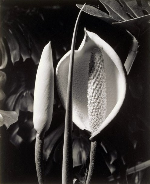 An image of Monstera deliciosa by Max Dupain