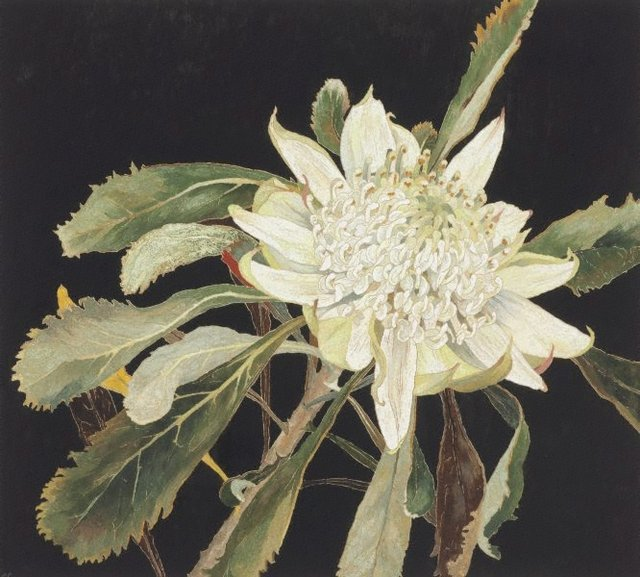 An image of White waratah