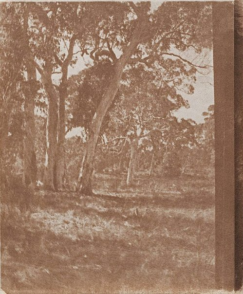 An image of Untitled (Clump of gum trees) by James S Stening