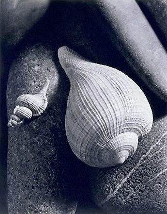 An image of Untitled (two shells on stones) by Max Dupain