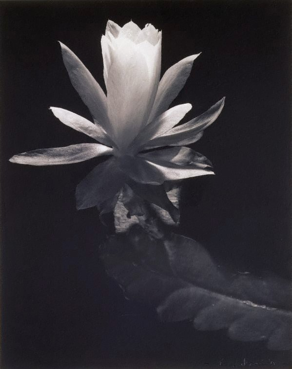 An image of Untitled (open Lily)