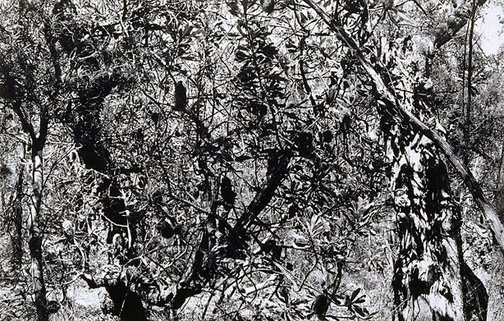 An image of Untitled (Banksias, young trees) by Brian Thompson