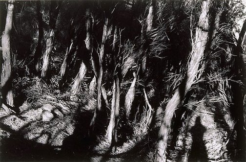 An image of Untitled (Ti-tree grove) by Brian Thompson