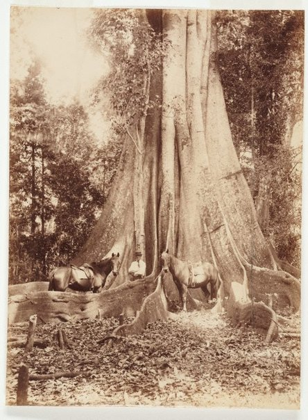 An image of The giant fig-tree NSW by Unknown, Kerry & Co