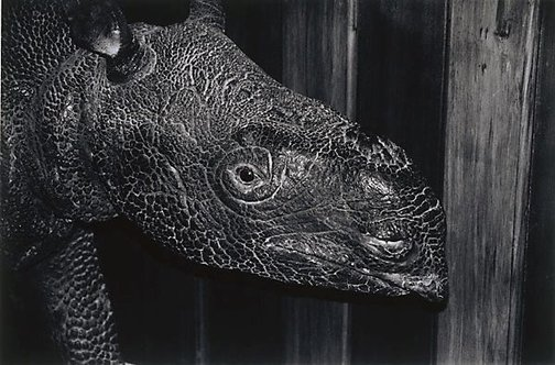 An image of Java Rhinoceros, Canterbury Museum by Peter Peryer