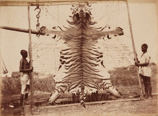 An image of Untitled (Flayed tiger) by Unknown