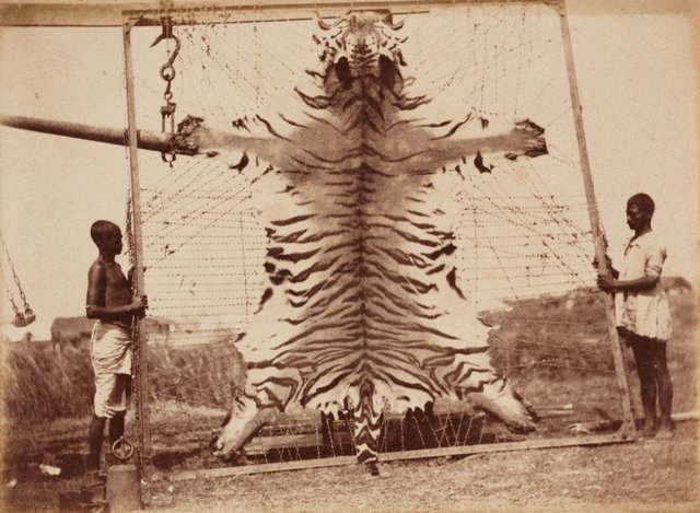 An image of Untitled (Flayed tiger)