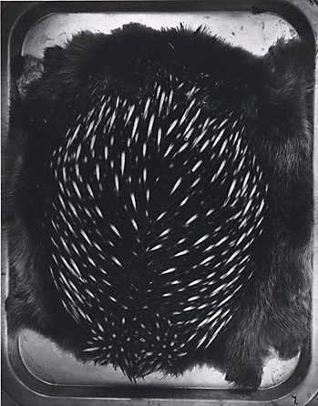 An image of Echidna by Fiona Hall