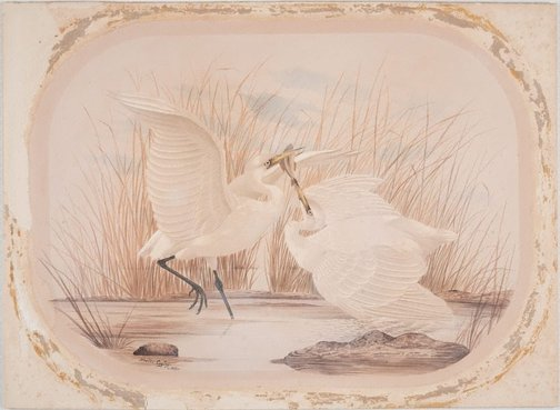 An image of Untitled (Two egrets fighting over a fish) by Neville Cayley