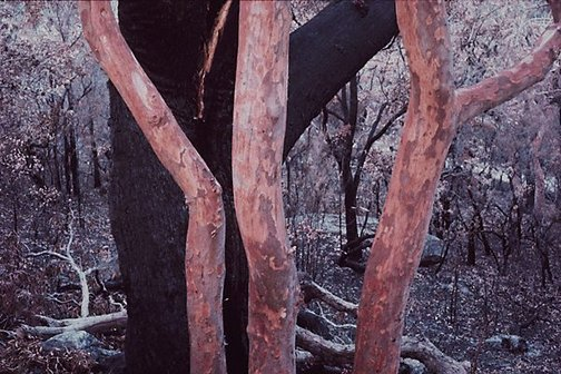 An image of Trees after bushfire, Lobster Bay, New South Wales by David Moore