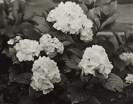 An image of Hydrangeas