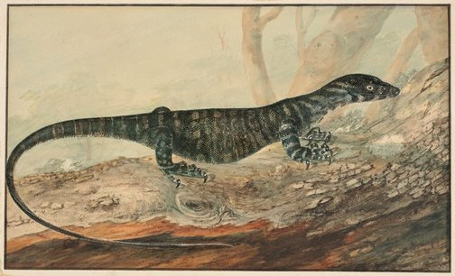 An image of The variegated lizard of New South Wales by J W Lewin
