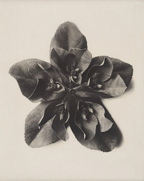 An image of Euphorbia helioscopia, Sun spurge, 5 x enl. by Karl Blossfeldt