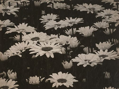 An image of Field with marguerites by August Sander