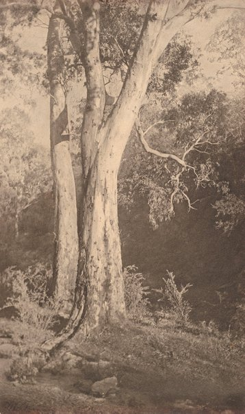 An image of Majestic gums, Prospect South Australia by Alfred Wilkinson
