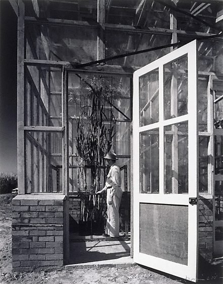 An image of Man in glasshouse, open door, Queensland by Max Dupain